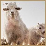 cachemire lana pregiata